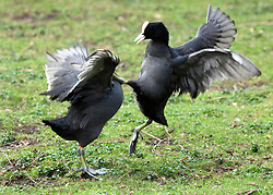 © under license to London News Pictures.  26/03/2011 As thousands marched in the TUC demonstration, these coots put on a demonstration of their own. With scenes reminiscent of a kung fu flick, they kicked their way through St. James Park, with neither, seemingly coming out on top.