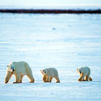 Polar bear,Cape Churchill,Canada
