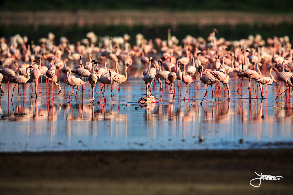 A group of mostly Lesser Flamingo, Mindre Flamingo, Phoeniconaias Minor, Phoenicopterus Minor, with their dark bills and pinker color, Lake Ndutu in evening light