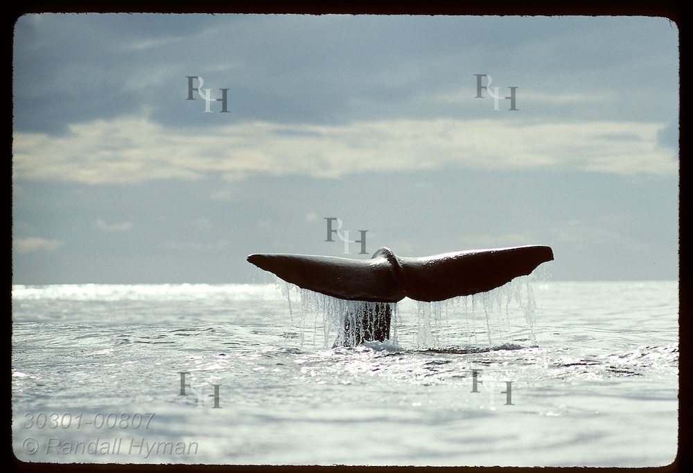 Tail of male sperm whale emerges from sea as it rolls into dive that will take it half mile deep Norway