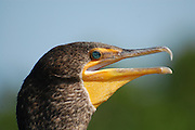 This is a photograph of a close-up of a Double-crested Cormorant.  It was taken at Wakodahatchee Wetlands, in Delray Beach, Florida.