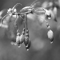 Fuchsia in Kerry
