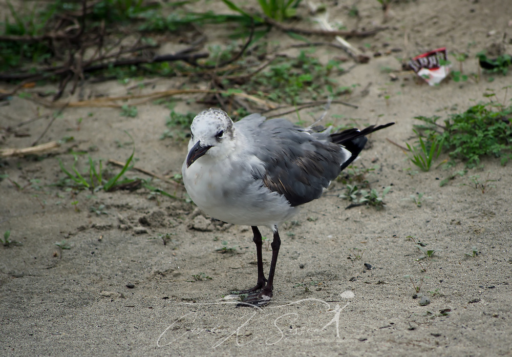 A laughing gull stands in the sand on Dauphin Island, Alabama Dec. 25, 2011. (Photo by Carmen K. Sisson/Cloudybright)