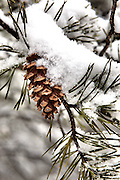 A pine cone covered with snow in the Baltimore Metro area on Wednesday, January 26, 2011.