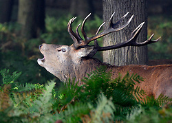 © Licensed to London News Pictures. 14/10/2012. Richmond, UK. The start of the 'Rutting' season. A large Red Deer stag roaring and barking.  Early morning mist and sunshine in Richmond Park, Surrey, today 14th October 2012. Photo credit : Stephen Simpson/LNP