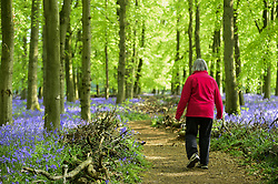 April 30, 2019 - Ashridge, HERTFORDSHIRE, UK - ASHRIDGE, UK. A walker enjoys the bluebells bloom in Dockey Wood, Hertfordshire.  As the popular location experiences high numbers of visitors, the National Trust has imposed an entrance fee in recent years during busy periods with barricades of twigs and branches to demarcate pathways to protect the delicate flowers from being trampled. (Credit Image: © Stephen Chung/London News Pictures via ZUMA Wire)