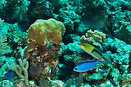 Blue Chromis, Chromis cyanea, (Poey, 1860), and Yellowhead Wrasse, Halichoeres garnoti<br /> (Valenciennes, 1839), Grand Cayman