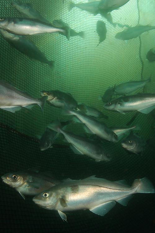 Haddock (Melanogrammus aeglefinus) in a fish farm. Location: Norway