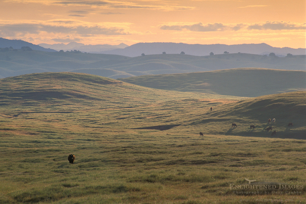 Lone cow in vast expanse of green fields in spring at sunrise, Merced Grasslands, Sierra Foothills, California
