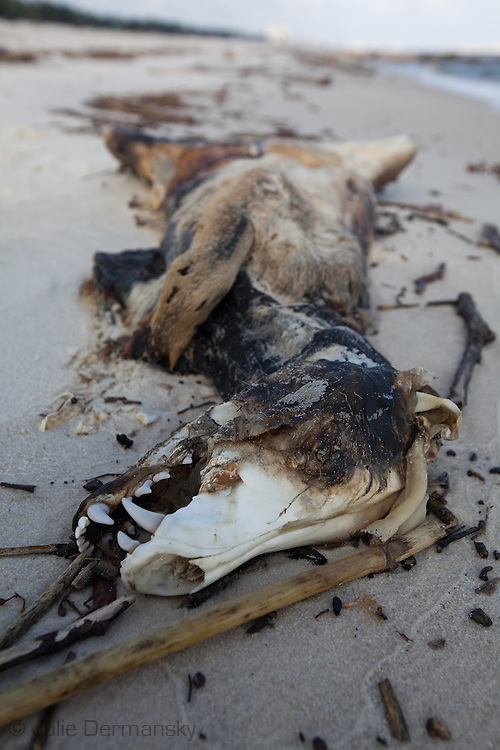 Dead animal  on Long Beach, Mississippi on the beach.<br /> An unprecedented number of dead animals   have washed up on the shores of Mississippi along the Gulf of Mexico starting almost a year after the BP oil spill. in Pass Christian, Mississippi on the beach.