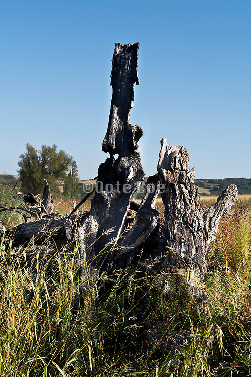 burned down tree trunks in agricultural landscape France Aude