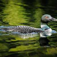 Common Loon.<br />