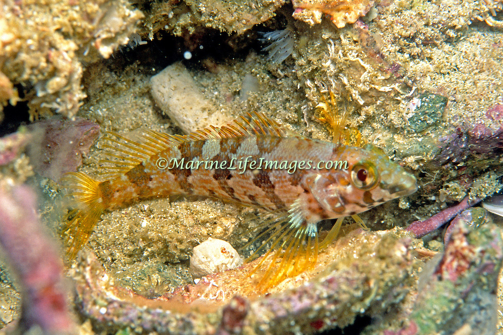 Saddle Blenny inhabit reefs, perch on bottom in Tropical West Atlantic; picture taken Venezuela.