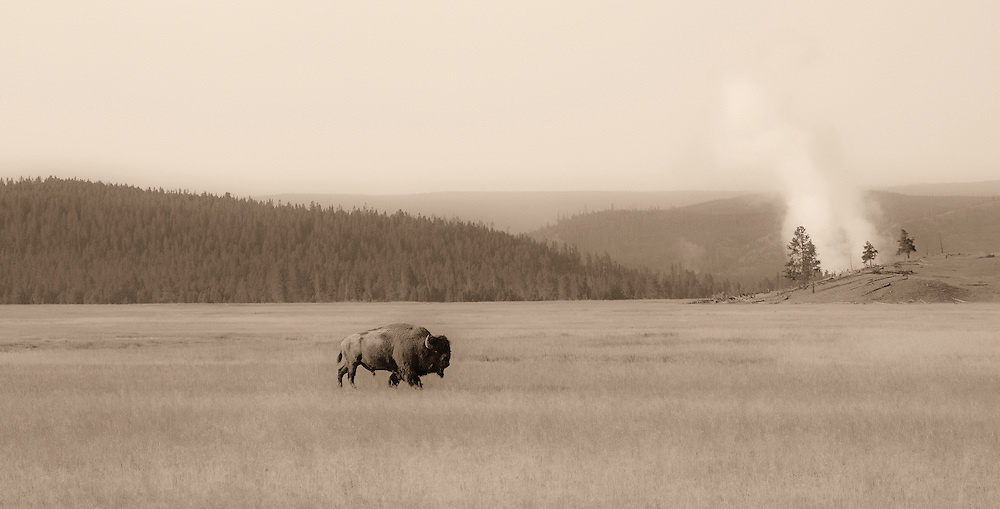 In olden days, millions of bison roamed across the North American plains.  From these large herds, a small population of America's last free-roaming bison now thrive in the high country of Yellowstone National Park; their last stronghold.