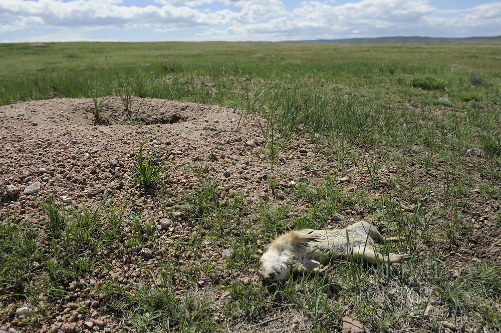 Hight Plains, shortgrass prairie region - Front Range, CO..A Black-tailed prairie dog likely killed by plague lies dead outside its burrow entrance. ..This location just had an outbreak of plauge. Plague is sweeping across prairie dog towns in the Great Plains, and can wipe out huge towns in a short period of time. ..Sylvatic plague (akin to Bubonic plague) is an exotic disease brought to the continent after 1900 and is spread primarily by fleas. ..As fewer prairie dog towns exist and wildlife that depends on these towns get more concentrated, plague has large ramifications for many species that depend on prairie dogs for survival...