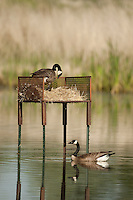 Canadian Geese nesting pair making a nest in a manmade nesting box.