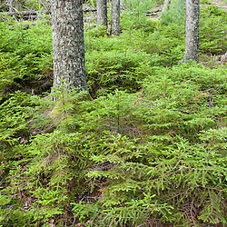 A spruce forest in Maine's Acadia National Park.