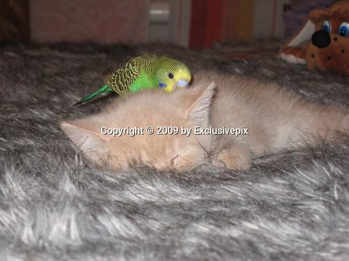 May 09, 2009 - London, England, UK - IN the cartoon world, Sylvester was forever cweeping up on his would-be supper, Tweety Pie.But in the real world, it seems, there has been something of a role reversal.The pictures here show a living room shared by a kitten and a budgie.In what could have been a fatal display of daring, the bird decided to leave his cage and taunt his feline playfellow by reversing the normal pecking order.He hopped on top of the napping kitten, trying to attract his attention, but the good-natured cat simply ignored him. Undeterred, the budgie continued to harass his sleepy-eyed friend until he lazily opened an eye to see what was going on.Eventually, the youngster gave in to his feathered friend's pestering for attention and swiped at him with a tentative paw. But as the curious cat gave chase, the wily budgie led the kitten straight into his cage.<br /> ©Exclusivepix