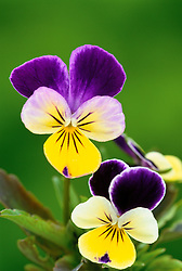Heartsease, Love-in-idleness, Wild pansy. Viola tricolor