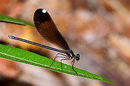 Ebony Jewelwing (Calopteryx maculata) female<br /> United States: Alabama: Tuscaloosa Co.<br /> Tulip Tree Springs off Echola Rd.; Elrod<br /> 28-May-2017<br /> J.C. Abbott #2954