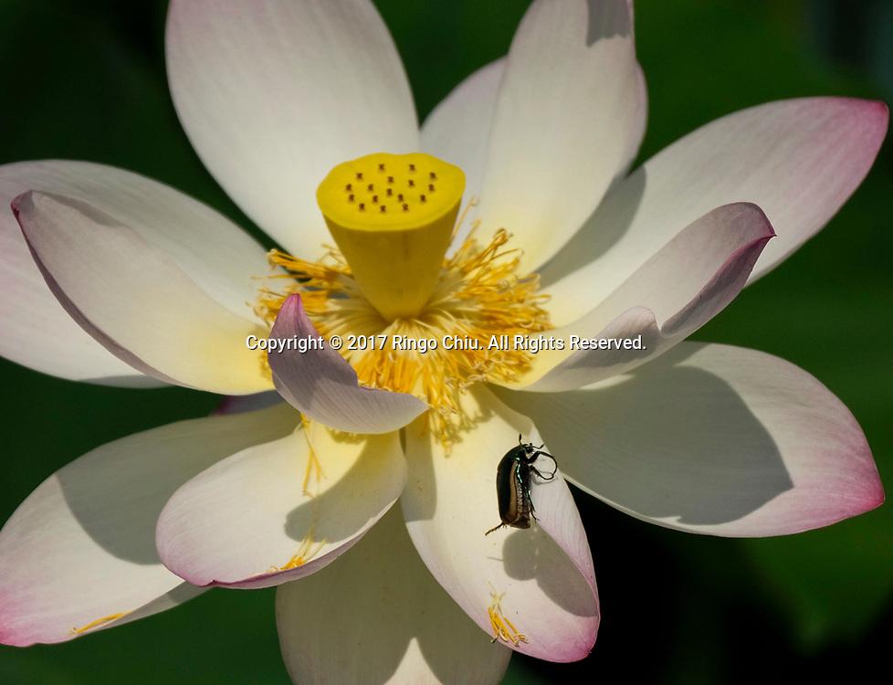 7月12日,在美国洛杉矶市中心附近的回声公园,一只小甲虫停在荷花上。一年一度的莲花节将于七月十五至十六日举行,届时不但可观赏盛开的荷花,还将有各式亚洲美食、民俗表演和手工艺品展出。新华社发 (赵汉荣摄)<br /> A beetle lands on a lotus flower on Wednesday, July 12, 2017 at Echo Park near downtown Los Angeles, the United States. The annual Lotus Festival will hold on July 15-16. The Festival was originally named &quot;The Day of the Lotus&quot;, and the purpose was to promote an awareness and understanding of the contributions by the Asian and Pacific Islander people to American culture and the local and surrounding communities. (Xinhua/Zhao Hanrong)(Photo by Ringo Chiu)<br /> <br /> Usage Notes: This content is intended for editorial use only. For other uses, additional clearances may be required.