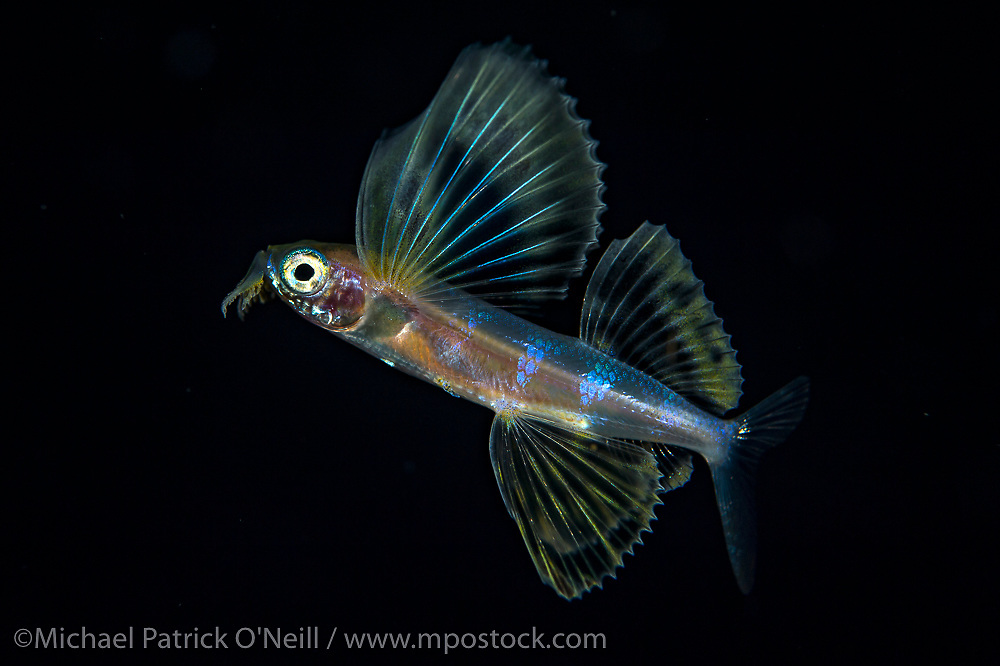 Young Flying Fish, Exocoetidae sp., drifting at night in the Gulf Stream offshore Palm Beach, Florida, United States.