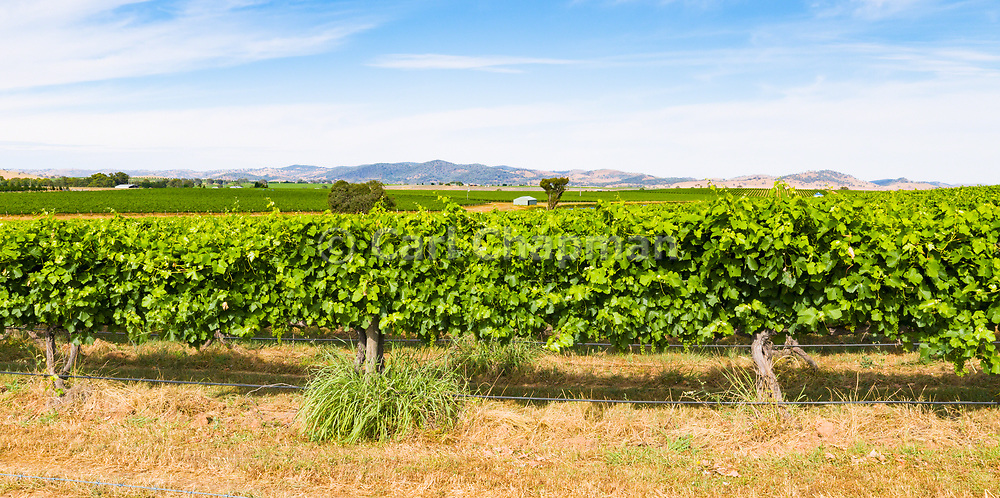 grape vines on a vineyard near Gulgong, New South Wales, Australia