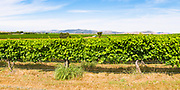 grape vines on a vineyard near Gulgong, New South Wales, Australia <br /> <br /> Editions:- Open Edition Print / Stock Image