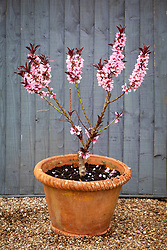 Dwarf peach tree in blossom in a terracotta container. Peach 'Crimson Bonfire'