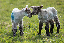 © Licensed to London News Pictures. 06/04/2018. Dorking, UK. One day old newborn lambs enjoy the spring sunshine as they are put out in a field for the first time on the Downs at Ranmore, near Dorking in Surrey. Warm spring temperatures are being experienced in parts of the UK today. Photo credit: Peter Macdiarmid/LNP