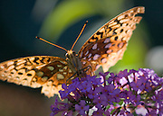 A gulf fritillary butterfly draws nectar from a flower in a western Maryland yard.