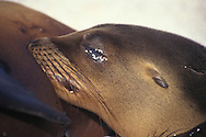 Calf nurturing from mother Galapagos sea lion, Zalophus californianus wollebaeki, Galapagos Islands, Ecuador (Eastern Pacific)&amp;#xA;&copy; KIKE CALVO - V&amp;W<br />
