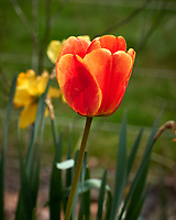 Orange Tulip flower.  Image taken with a Leica CL camera and 60 mm f/2.8 lens (ISO 100, 60 mm, f/5, 1/1000 sec).