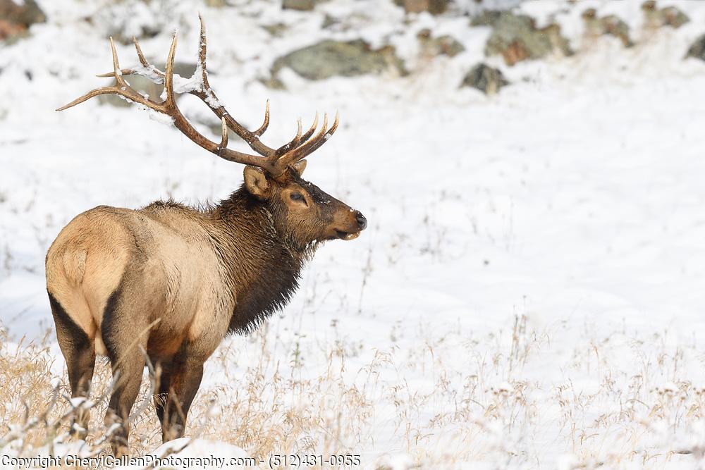 A bull Elk in the fresh snow