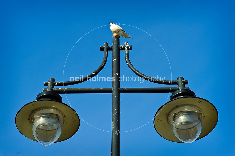 A seagull perches on a lampost, Hornsea seafront