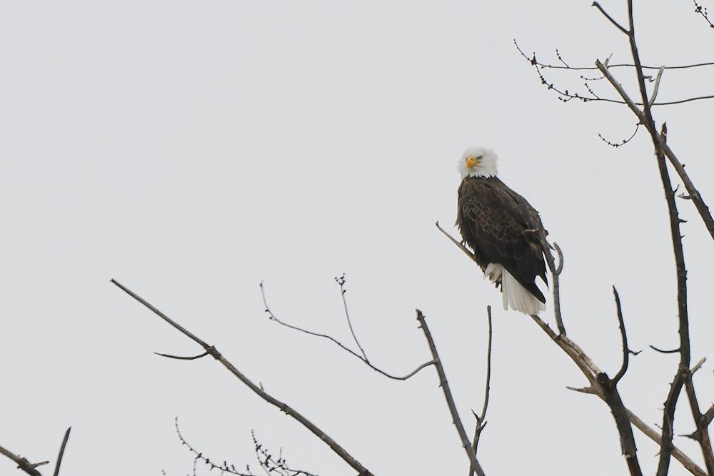 Bald Eagle of Baldwinsville