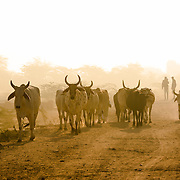 Man herding buffalo in early morning in village of Chandelao, Rajasthan
