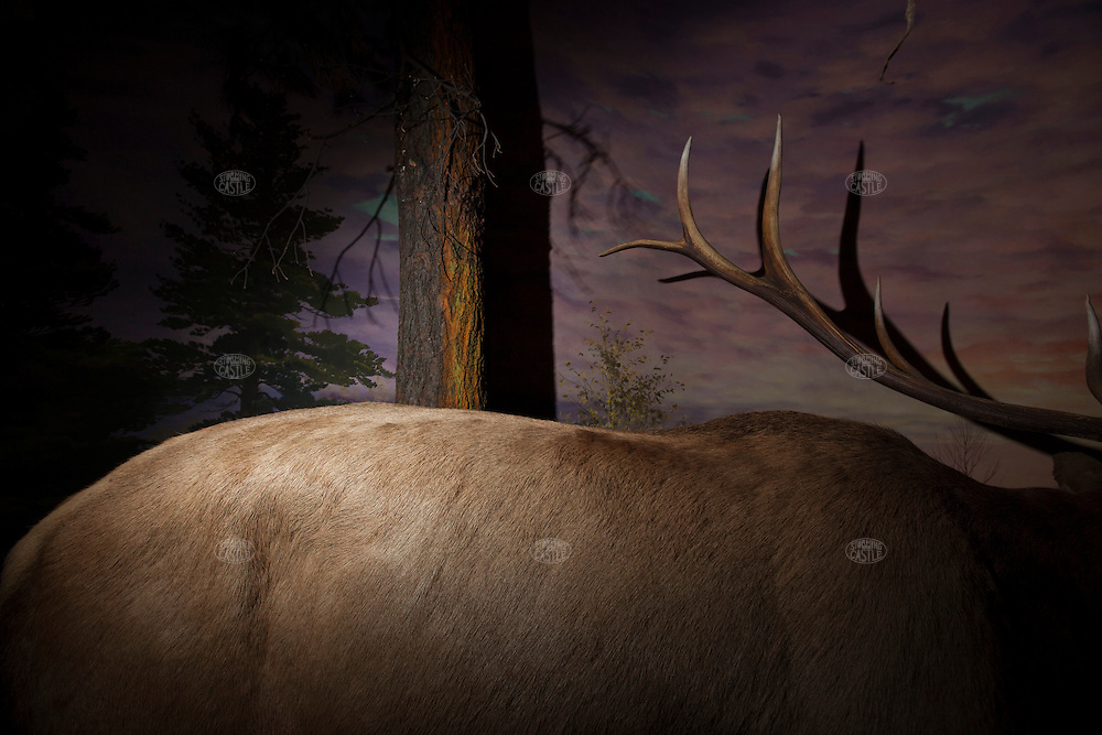 Elk: Taxidermy animals were originally key parts of these dioramas of nature scenes, small recreations of researched locations of the natural habitats of the full sized animal taxidermy examples.  The dioramas were hugely popular in the community and several of the 20 odd installations in the museum were relocated to the new public museum; other taxidermy animals from the installations were re-tasked at the new museum on the other side of downtown as well…hence some of these dioramas' animals are absent and the 'habitats' are damaged--this all took place in the 1980's when the museum staff relocated parts of the  dioramas to their new purposes in the new museum. Originally built from about 1938 when the first Grand Rapids Public Museum (GRPM) was completed.The original museum was founded as the 'Kent County Scientific Society' and is one of the oldest Natural History Collections in the US--founded before both the American Natural History Museum in NYC, and the Field Museum in Chicago.  From the collection the grand rapids public museum.
