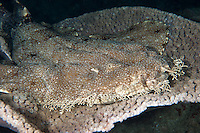 A Wobbegong Shark naps on a Plate Coral<br /> <br /> Shot in Indonesia