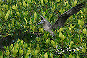 A juvenile Red-footed booby perches on a mangrove tree on Genovesa island, Galapagos.