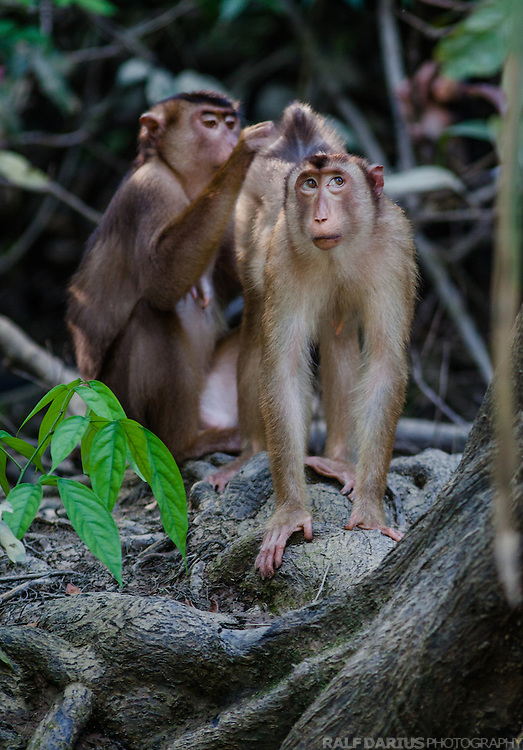 Grooming Pig-Tailed Macaques (Macaca nemestrina) at a small tributary of the Kinabatangan river in Sabah (Malaysia)