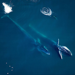 Fin whales hunting in the Gulf of California, Mexico. Fin whales are the 2nd larges animal that ever lived on the planet. Note the large sea lion by their side.