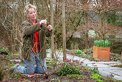 Carol Klein pruning Rosa mundi - Rosa gallica 'Versicolor'
