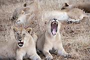Kenya, Masai Mara, pride of Lions