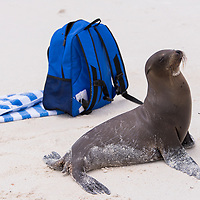 A juvenile Galapagos sea lion poses by a guest's backpack and towel at Gardner Bay, one of the most beautiful beaches in the world, on Espanola Island in the Galapagos Islands of Ecuador.