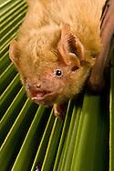Northern Yellow Bat (Lasiurus intermedius): Mammalia: Chiroptera: Vespertilionidae <br /> TEXAS: Travis Co.<br /> Austin<br /> Barbara French's Bat Rehabilitation Center<br /> 12-Sep-2008<br /> J.C. Abbott