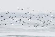 Canvasbacks, Aythya valisineria, St. Clair River, Michigan