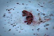 Remains of a dead seal, killed and eaten by a polar bear in Fram Strait, between Greenland and Svalbard.