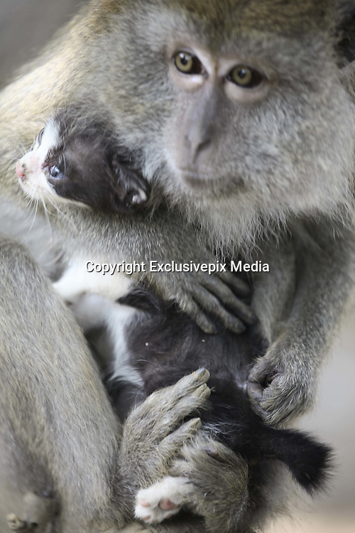 BINTAN ISLAND, INDONESIA -<br /> <br /> Long Tailed Monkey Acts As Mother To A Kitten<br /> <br /> Kimon, an eight year old, female long-tailed monkey sits with a kitten, whom, she treats as her baby in Bintan Island, Indonesia.<br /> MEET the moggy-loving monkey who thinks her pet cat is her baby. Motherly Kimon has such strong maternal instincts that she treats eight-year-old feline just like one of her own off-spring. The cute pictures show Kimon the long-tailed macaque grooming the cat, who Kimon raised since she was a kitten, just like she would to her own baby. Other images show Kimon carrying the cat around like a baby monkey and the pair cuddling up together. The unusual pair live together on Bintan Island, near Sumatra in Indonesia where photographer Yuli Seperi photographed them together.<br /> &copy;Yuli Seperi/Exclusivepix Media
