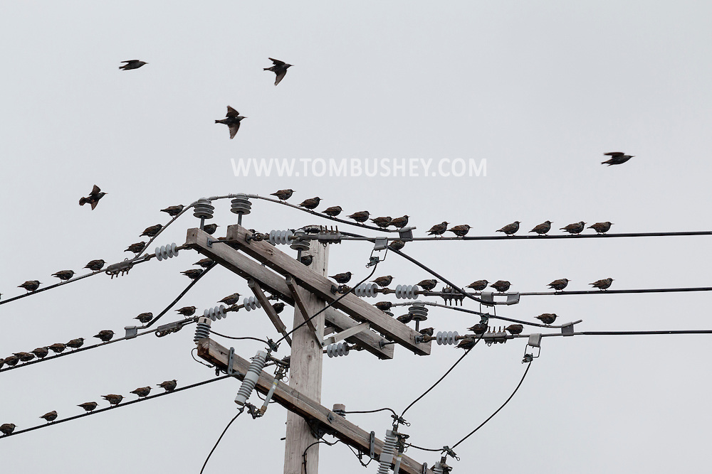 Middletown, New York - A flock of birds  on Jan. 1, 2016.